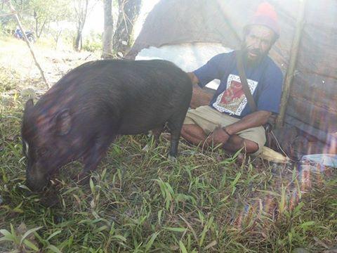 sumbangan ternak babi dari rakyat yalle-nang, 14 Maret 2015